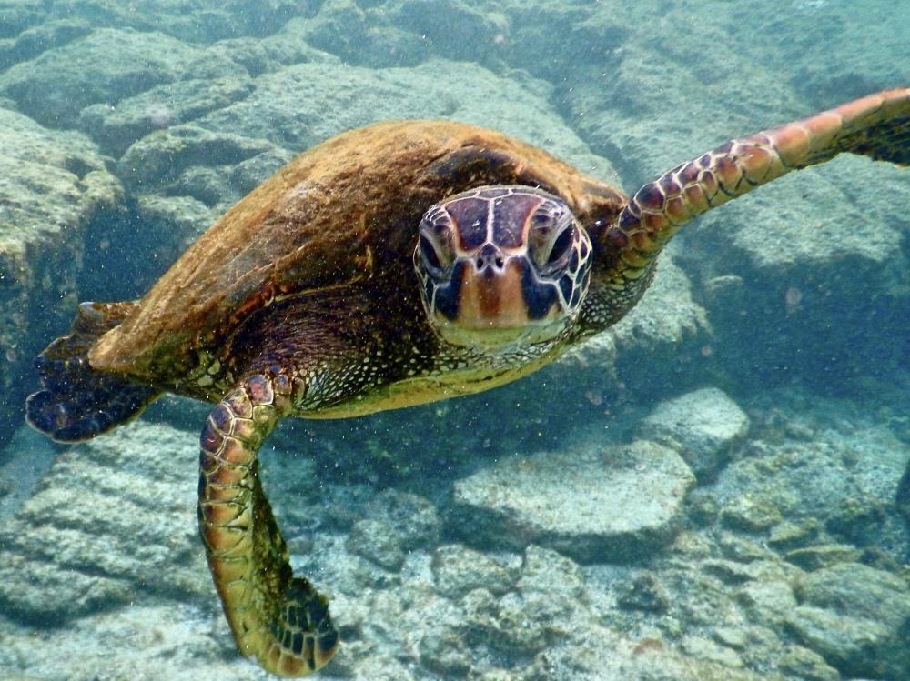 A friendly turtle at Kahaluʻu Beach Park.